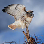 Red Tail Hawk Perch Poster
