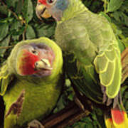 Red-tailed Amazon Amazona Brasiliensis Poster