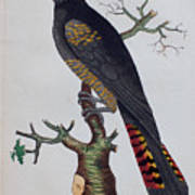 Red-tailed Black Cockatoo 1790 Poster