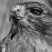 Red-tailed Hawk 2 Poster
