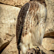 Red-tailed Hawk 4 Poster