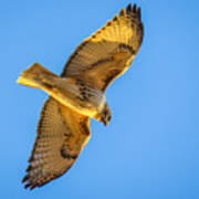 Red Tailed Hawk II Poster