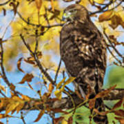 Red-tailed Hawk In Fall Color Poster