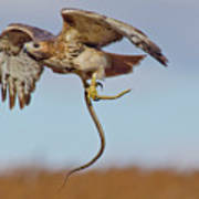 Red-tailed Hawk In Flight With Snake Poster