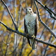 Red-tailed Hawk In The Fall Poster