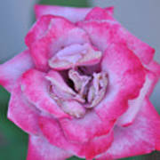 Red Tipped Pink Rose Poster