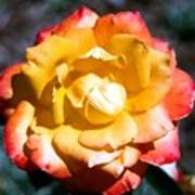 Red Tipped Yellow Rose Poster