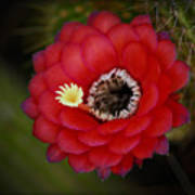 Red Torch Cactus-echinopsis  Poster