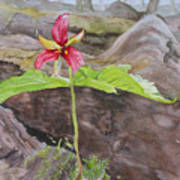 Red Trillium In The Spring  Poster