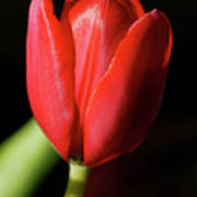 Red Tulip 2 Poster