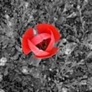 Red Tulip From Above Poster