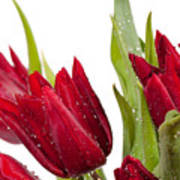 Red Tulip Heads Sprinkled Poster