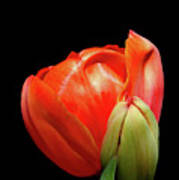 Red Tulip With Bud Poster