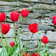 Red Tulips Poster