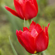 Red Tulips In A Meadow Closeup Sunny Spring Day Poster
