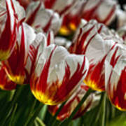 Red White And Yellow Tulips Poster