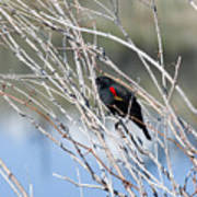 Red Winged Black Bird At Chatfield Poster