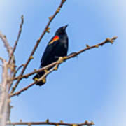 Red Winged Blackbird 2 Poster