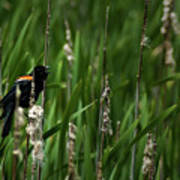 Red-winged Blackbird Calling Poster