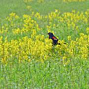 Red-winged Blackbird In Wild Mustard Poster