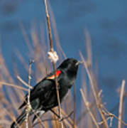 Red-winged Blackbird On Cattail  Poster