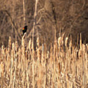 Red Winged Blackbird On Cattails Poster
