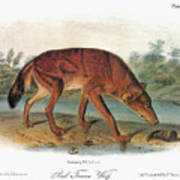 Red Wolf (canis Lupus) Poster