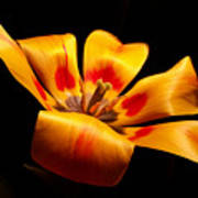Red-yellow Tulip 1 Poster