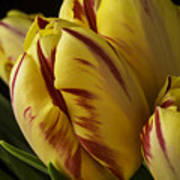 Red Yellow Tulip Poster