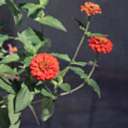 Red Zinnia Flowers Poster