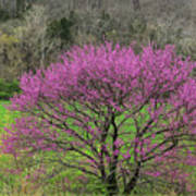 Redbud And Field In Jefferson County Poster