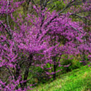 Redbud And Path Poster