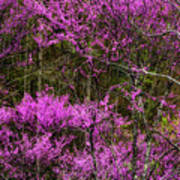 Redbud In The Woods Poster