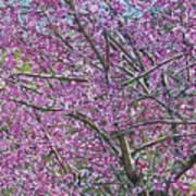 Redbud Tree Poster