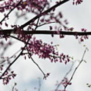 Redbuds In The Mist Poster