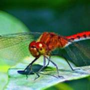 Redheaded Dragonfly Poster