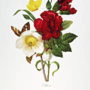 Redoute: Hellebore, 1833 Poster