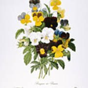 Redoute: Pansy, 1833 Poster