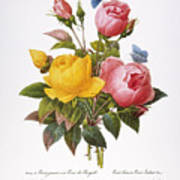 Redoute: Roses, 1833 Poster