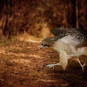 Redtail Morning Run Hawk Art Poster