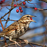 Redwing With Berry Poster