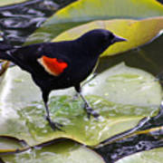Redwinged Black Bird On A Lily Pad Poster
