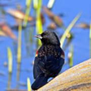 Redwinged Blackbird Poster
