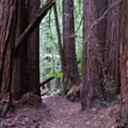 Redwood Grove Poster
