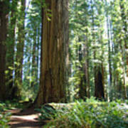 Redwood Trees Forest California Redwoods Baslee Poster