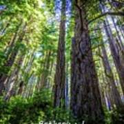 Redwoods National Forrest Trees Of Mistery Poster
