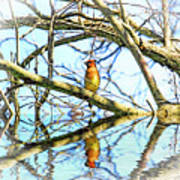 Refection Of Cedar Waxwing Poster