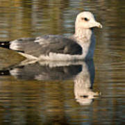 Young Gull Reflections Poster