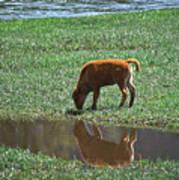 Reflection Buffalo Calf Poster