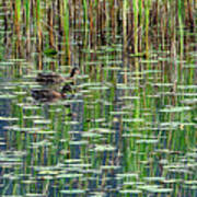 Reflections On Duck Pond Poster